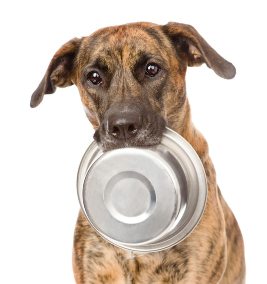 dog holding bowl in mouth. isolated on white background